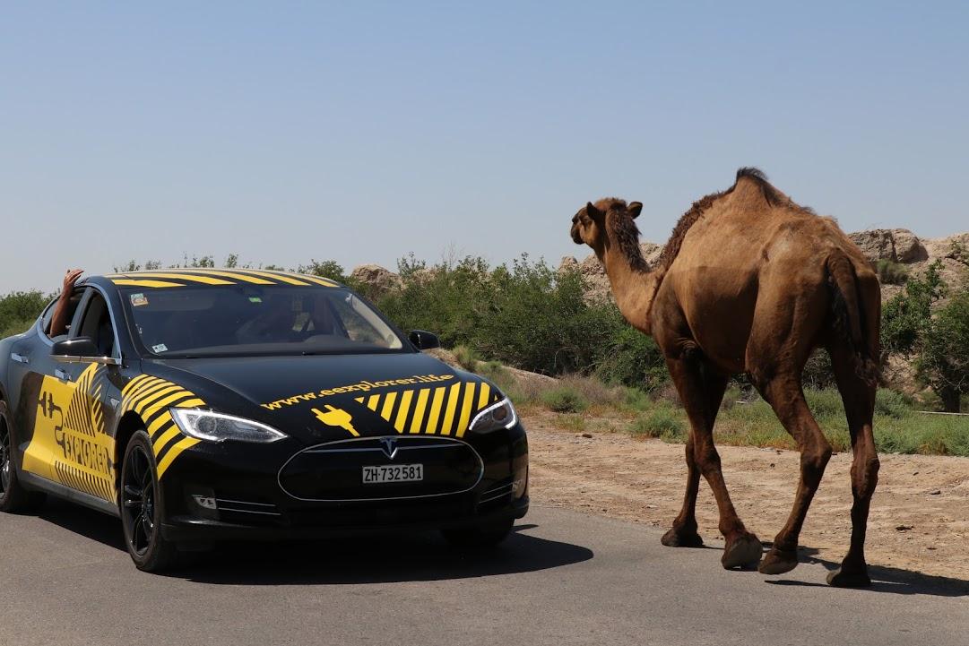 Tesla Model S & верблюд